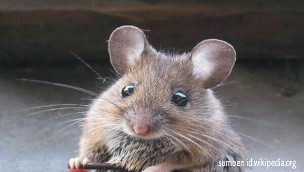 Cara Mengusir Tikus dari Rumah Paling Ampuh