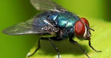 Cara Alami Mengusir Lalat Paling Ampuh